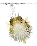 Long-spine porcupinefish (fish) Royalty Free Stock Photography