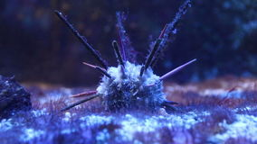 Long-spine slate pen sea urchin underwater stock video footage