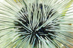 Long spined sea urchin white spines and blue lines Royalty Free Stock Photos