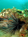 Long-spined Urchin Stock Photos