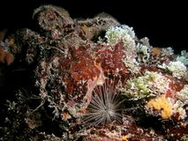 Long-Spined Urchin. This white long-spined urchin was taken at night in 45 feet of water in south Florida Stock Images