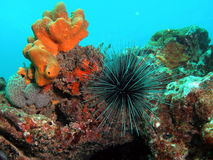 Long-Spined Urchin. This is a long-spined urchin taken at about 30 feet in Pompano beach, Florida Stock Photo