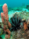 Long-Spined Urchin. Taken in Pompano beach, Florida Royalty Free Stock Photography