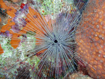 Long-Spined Urchin in Bonaire National Marine Park, Caribbean Sea Royalty Free Stock Image