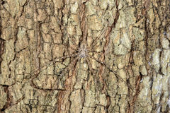 Long-spinnered bark spider, tsingy de bemahara Royalty Free Stock Images