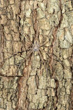 Long-spinnered bark spider, tsingy de bemahara Royalty Free Stock Photos