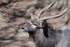 Long Spiral Horns on a Wild Nyala Buck Royalty Free Stock Photography
