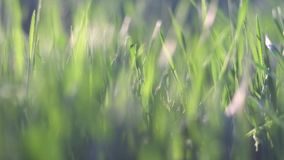 Long spring grass backlit. Shallow DOF, blurred stock video footage