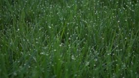 Long spring grass backlit. Shallow DOF, blurred background, low contrast footage FHD stock video footage