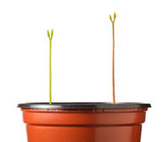 Long sprout in red pot Stock Photos