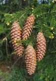 Long spruce cones on branch Picea tree in forest Royalty Free Stock Photo