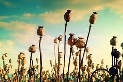 Long stalk of poppy seed. Evening field of poppy heads  with sun at horizon. Stock Photography