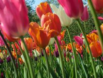 Long Stem Colorful Tulips royalty free stock photos