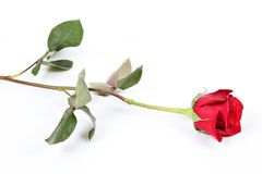 Long stem red rose Royalty Free Stock Image