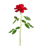 Long stem red rose Royalty Free Stock Photography