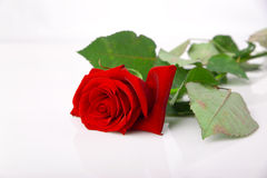 Long stem rose. Red rose on white background stock image