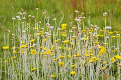 Long stemmed African wildflowers Stock Image