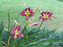 Long stemmed multicolored lilies brighten the landscape. Three lilies have blossomed to full flowers, while many more pods are just starting to show off their royalty free stock images