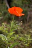 Long stemmed poppy. Stock Photo