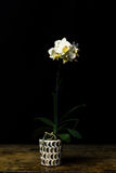 Long stemmed white orchid Stock Image