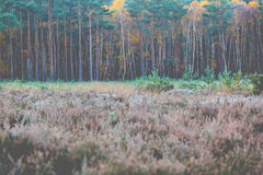 Long straight pines in row in fall colour Royalty Free Stock Photography