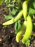 Long sweet pepper Stock Photo