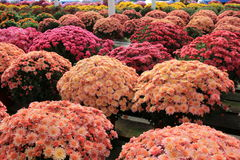 Long tables at local nursery, filled with gardener`s favorites, hardy mum flowers Stock Photo