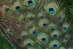 The long tail with big blue-green eyespot of Peacock Stock Photo