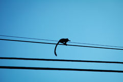 Long tail little monkey marmoset on electric wires Stock Photography