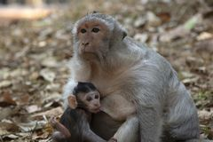 Long Tail Macaque baby drinking milk from his mother. stock photography