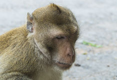 Long tail macaque. Closeup long tail macaque's face Royalty Free Stock Image