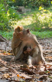 Long-tail macaque family. In relaxing time Royalty Free Stock Photography