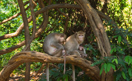Long-tail macaque. Group of long-tail macaques sit on tree Royalty Free Stock Images