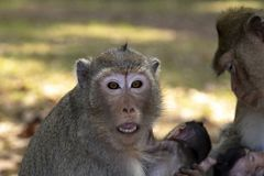Long Tail Macaque monkey embraces her baby, sitting and looking at us with eyes and mouth wide open. royalty free stock photo