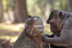 Long Tail Macaque monkeys picking fleas, grooming each other, with eyes closed. royalty free stock images