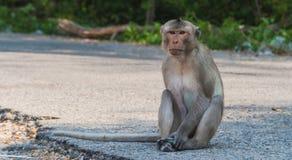 Long-tail macaque Stock Photos