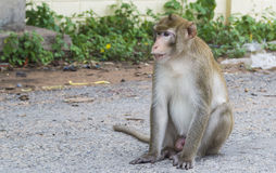 Long tail macaque. Sitting on street Stock Photo