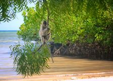 Long tail monkey in Bama Beach, East Java. Bama beach is located in east area, in Baluran National Park area. Here, you can see the original and virgin beach Royalty Free Stock Photography