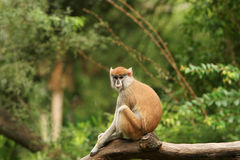Long tail monkey on branch Royalty Free Stock Images