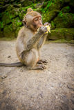 Long-tailed baby macaque Macaca fascicularis in The Ubud Monkey Forest Temple eating a cob corn using his hands, on Bali Stock Images