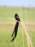Long tailed black widow bird male Stock Images