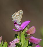 Long tailed Blue Royalty Free Stock Photo