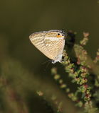 Long tailed Blue. Butterfly on the S'Albufera Marsh in Mallorca Stock Image