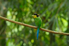 Long-tailed Broadbill Royaltyfri Fotografi