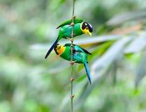 Long-tailed Broadbill Royaltyfria Bilder