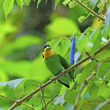 Long-tailed Broadbill Stock Images