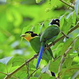 Long-tailed Broadbill Stock Photo