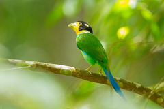 Long-tailed broadbill Stock Photography