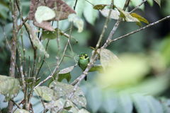 Long-tailed broadbill royalty free stock images