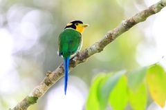 Long-tailed Broadbill Royalty Free Stock Image